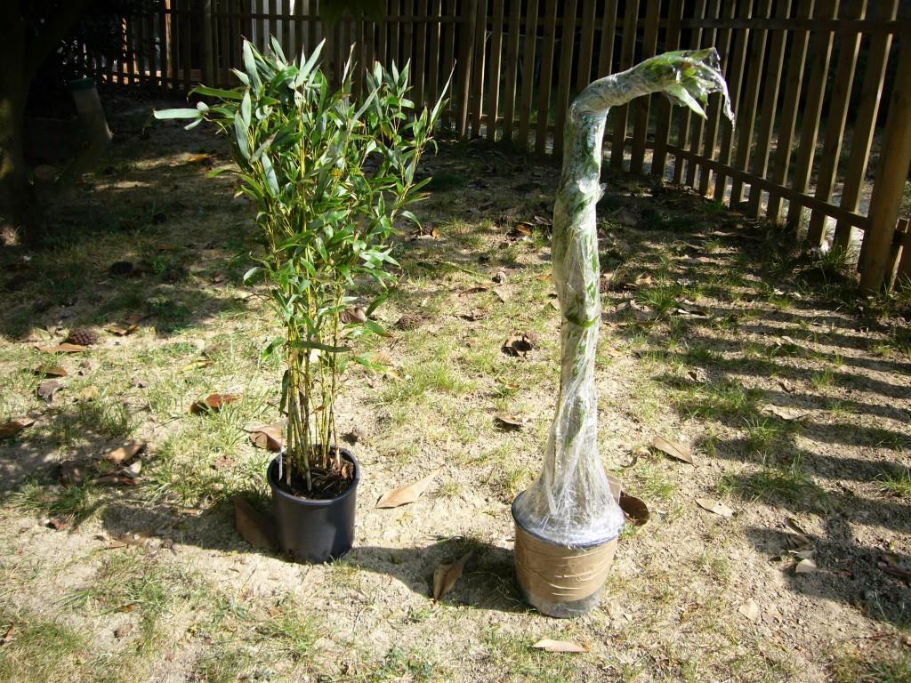 planter des bambous en haie comment planter des bambous. Black Bedroom Furniture Sets. Home Design Ideas