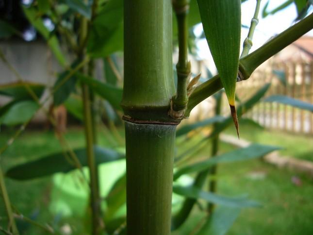 haie bambou humilis bissetii