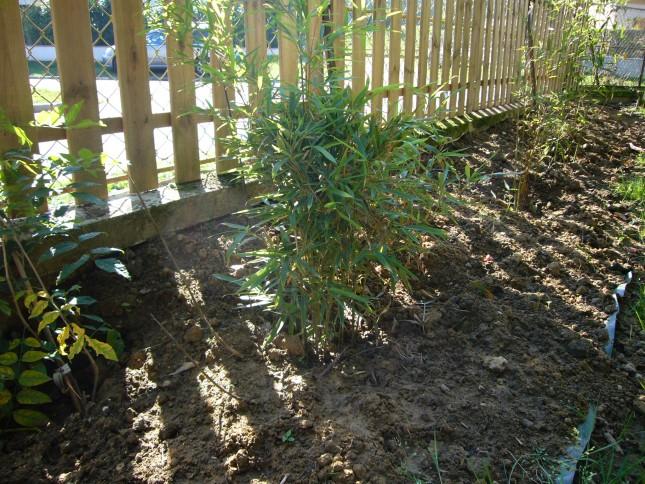 haie bambous bissetii